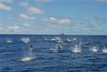 Pod of dolphin with NOAA Ship DAVID STARR JORDAN in the distance.