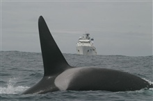 A killer whale crossing the bow of the NOAA Ship McARTHUR II.