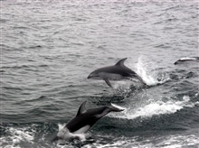 Dolphins following the NOAA Ship MILLER FREEMAN on the 2005 Acoustic Hake Survey.