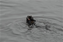 Sea otter lying on back eating mussels