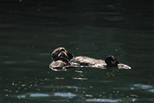 Sea otter pup resting on mother