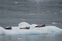 Harbor seals (Phoca vitulina) hanging out on an ice floe.