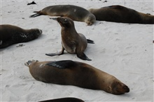 Sea lions hauled out on the beach.