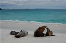 A scene from the Nineteenth Century - sea lions on the beach, sailing shipsoffshore.
