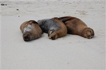 Sea lions hauled out on the beach - the three musketeers all tuckered out fromchasing fish.