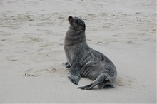 Absolutely hate it when sand gets in my bathing suit.  Sea lion after waking upon a sandy beach.