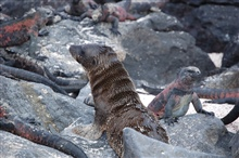 Sea lion pup and marine iguana ignoring each other.