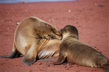 Mother sea lion and pup love - a remarkable display of affection.  Photo #5 ofsequence.