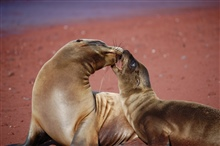 Mother sea lion and pup love - a remarkable display of affection.  Photo #7 ofsequence.