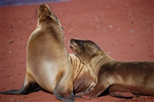 Mother sea lion and pup love - a remarkable display of affection.  Photo #8 ofsequence.