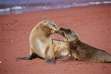 Mother sea lion and pup love - a remarkable display of affection.  Photo #9 ofsequence.