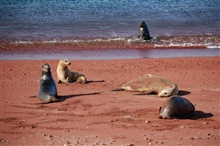 Sea lion harem on a red sand beach with bull sea lion at water's edge.