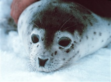 Spotted seal - Phoca largha.