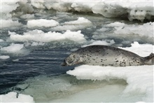 Spotted seal leaving an ice floe.
