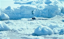 Ribbon seal pup on the ice.