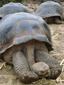 Galapagos Tortoise displaying long serpentine neck.
