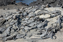 Gregarious marine iguanas holding a convention.