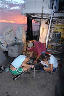 Scientists taking measurements of sea turtle on the NOAA Ship DAVID STARR JORDAN.