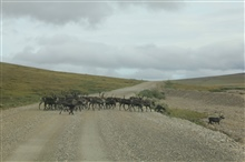 Domestic reindeer herd