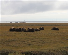 Musk ox beginning to form protective circle