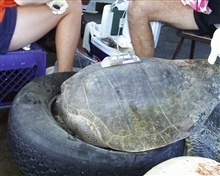 Satellite transmitter placed on sea turtle prior to release.  This will helpscientists track migratory patterns of turtle.