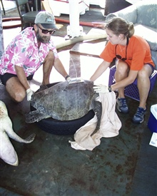 Scientists securing sea turtle after placing satellite transmitter on back.