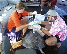 Scientist studying sea turtle after placing satellite transmitter on back.
