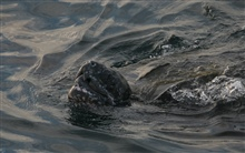 Large leatherback turtle swimming with snout out of water.