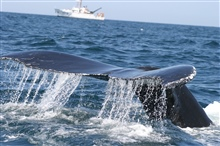 Humpback whale with NOAA Ship DELAWARE II in background.