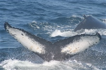 Humpback whale flukes - used to identify individuals of this species.