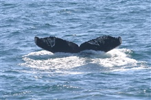 Humpback whale flukes - used to identify individuals of this species.  Thelinear pattern on the flukes is possibly caused as a result of killer whalechasing and attacks.