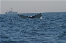 Humpback whale flukes - used to identify individuals of this species.  The NOAAShip DELAWARE II is in the background.