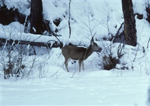 Mule deer feeding on riparian vegetation on a frozen over Camas Creek.