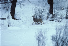 Mule deer along a frozen creek bottom.