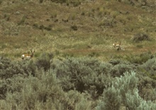 Antelope in eastern Oregon.