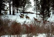 Wintering mule deer in riparian vegetation.
