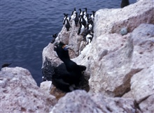 A red-faced cormorant in the foreground and murres
