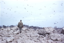 A crewman off the PATHFINDER approaching a colony of murres