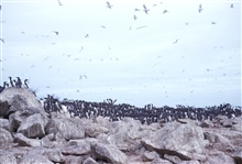 A colony of murres