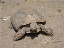 A sulcata tortoise (Geochelone sulcata) , a land-dwelling reptile nativeto Northern Africa. Ridges less pronounced than in images anim2015 and anim2016.