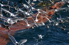 A profusion of seabirds looking for the proverbial free lunch as the cod end ofa trawl is coming aboard.