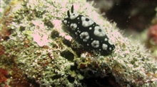 A black and white nudibranch.