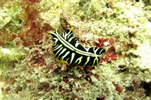 A black, white, and yellow nudibranch? flatworm?