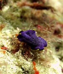 A purple flatworm with yellow and black fringing bands.