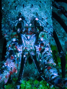 Palinurid spiny lobster.