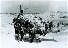 Young steer after a March blizzard.Blizzard conditions are extremely hard on exposed livestock.