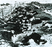 Livestock losses after a March blizzard.Early warnings of blizzard conditions can help avert such disasters.