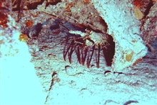 Spiny lobster - Panulirus sp.