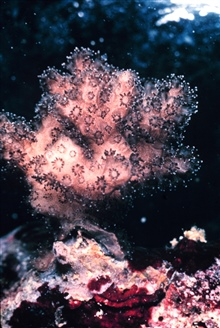 Individual polyps are extended in this colonial Pocillopora damicornis, coral.