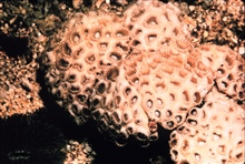 Live coral colony.